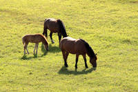 Horses family in Poland