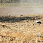 """Stork hunting on field"" by Piotr_Marcinski"