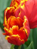 Flaming Tulip #1