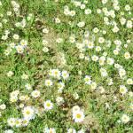 """Daisy"" by MarkRobertson"