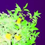 """Oranges and Lemons Plum"" by MarkRobertson"