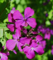 Botanical - Honesty Lunaria - Outdoors Floral