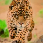"""""""Prowling Leopard"""" by artstoreroom"""