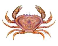 Dungeness Crab (Cancer magister)