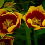 """Red and Yellow Tulips"" by vanOgtropPhotography"