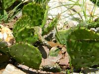 Wild cactus in transition