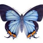 "Imperial Blue Butterfly (Jalmenus evagoras)" by edenart