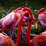 """Flamingos"" by vanOgtropPhotography"