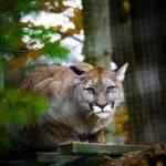 """Puma"" by vanOgtropPhotography"