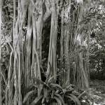 """Banyan Tree"" by zoelavie"