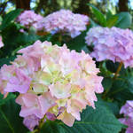 """Floral art prints Pink Hydrangea Flowers"" by BasleeTroutman"