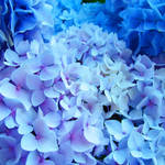 """Blue Hydrangeas Flowers art prints Baslee"" by BasleeTroutman"