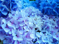 Blue Hydrangeas Flowers art prints Baslee
