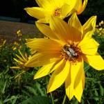 """Busy Sunflower"" by patenaudephotography"