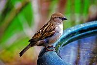 Female House Sparrow at the Bird bath.