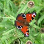 """Red Admiral"" by irwinfamily"