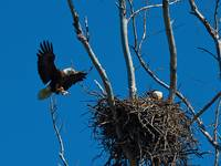 bald eagles5