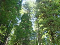 Redwood Forest Trees art prints