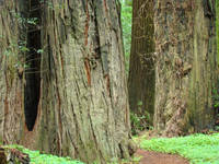 Big Redwood Trees Forest Coastal