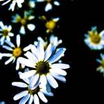 """""""Daisies"""" by Grebo"""