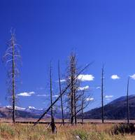 Dead Trees on the Yellowstone River flat
