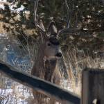 """Buck in Mueller State Park - Colorado"" by ScenicPride"