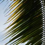 """Coconut Tree Leaves"" by nurulphotography"