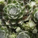 """""""Sempervivum arachnoideum"""" by LillianDavis"""