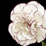 """Carnation"" by expressionsbytricia"