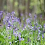 """Bluebell Wood"" by cotswoldphotogallery"