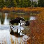 """Kissing Moose"" by Jason_Speer_Photo"