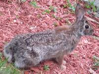 Wild Cotton Tail Rabbit Ready to Run