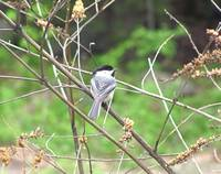 Black Capped Chickadee in a Tree