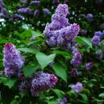 """Purple Lilacs"" by jamisonsyphersphotography"