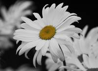 #448 Shasta Daisy I (Black and White Prints)