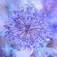 Allium Flower In Blue
