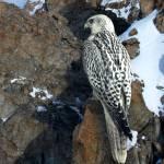 """""""Gyr falcon"""" by NAR90"""