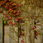 """""""Ivy on a Park Wall"""" by raetucker"""
