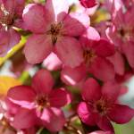 """""""Crab Apple Blooms"""" by KatesGrace"""