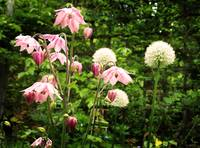Aquilegia In Light Pink
