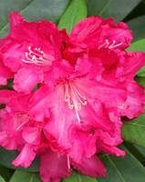 Rhododendron In Pink