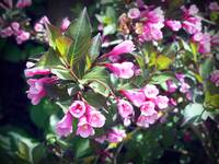 Weigela In Spring