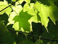 Maples Leaves