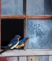 blue window - barn swallows