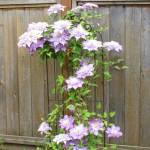 """""""Z Clematis"""" by JanaSinor"""
