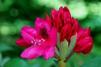 Red Rhododendrons 37