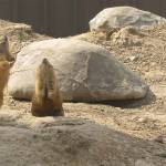 """Prairie Dogs"" by MMSPhotos"