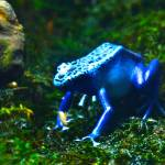 """Poison Frog"" by MMSPhotos"