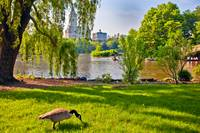 Goose in Central Park