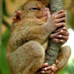 """Tarsier"" by pureartdesigns"